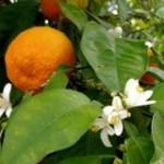цветок апельсина