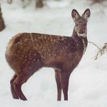 кабарга- безрогий олень