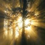 кашемировое дерево