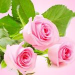 роза прованская
